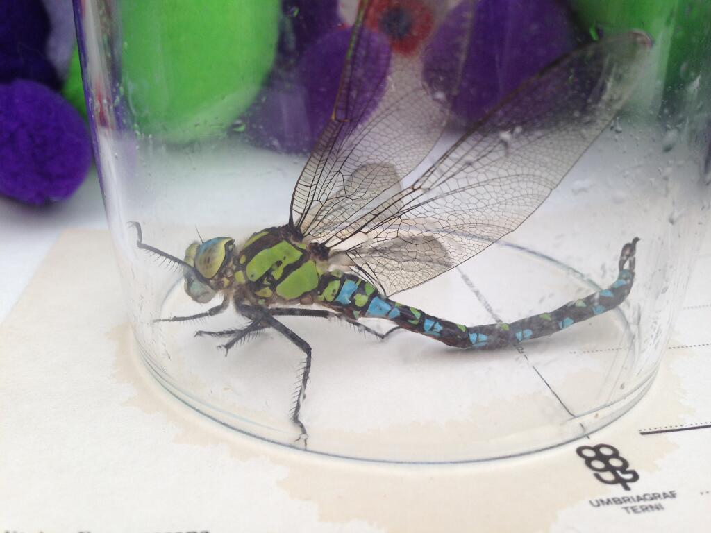 A male Emperor Dragonfly comes to visit Puffles & friends. Note the similarity of greens between this creature and the baby dragon fairy in the background